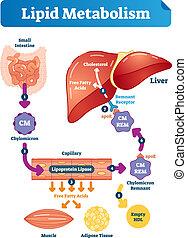 lipídio, ilustração médica, metabolism, etiquetado, vetorial, infographic., scheme.