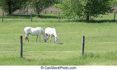 Lipizzaner horses on pasture