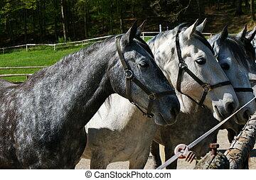 Lipizzaner mares in Federal Stud Piber in Koeflach, Austria.