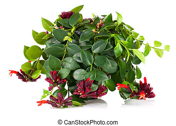 Lipstick Plant (Aeschynanthus radicans) in pot, isolated on white background