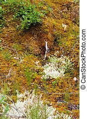 liquenes, plantas, piso, leavy, musgos, bosque boreal