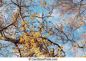 Liquidambar in autumn