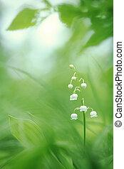 lirio del valle, en, primavera