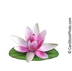 lirio rosa, flor, loto, leaf., aislado, agua, verde,...