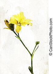 "lis, aquarelle, ""hemerocallis"", jaune"
