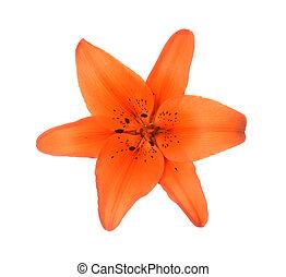 lis, couleur orange