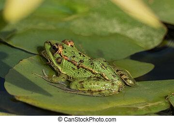 lis, entiers, séance, grenouille, eau, vert, étang