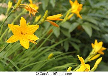 lis, jaune