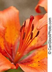 lis orange