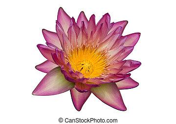 lis rose, isolé, jaune, eau, fond, blanc, fleur