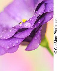 lisianthus, bloem, op, pastel achtergrond