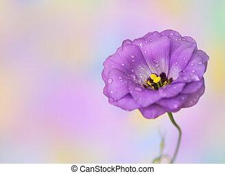 lisianthus, bloem