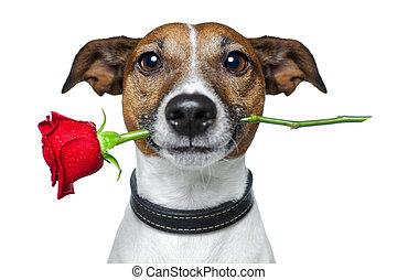list miłosny, pies