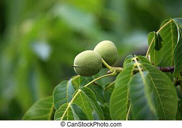 list, mladický kopyto, vlašský ořech, ovoce