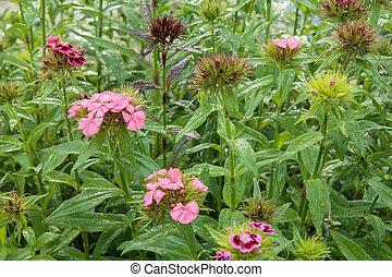 list, nezkušený, grafické pozadí., rostoucí, karafiát, zahrada, květiny