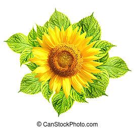 list, nezkušený, slunečnice