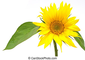list, slunečnice, nezkušený