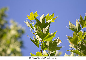 list, strom, druh