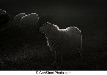 lit, sheep, blanco, espalda