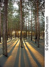 lit, zurück, bäume, kiefer