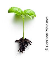 liten, basilika växt