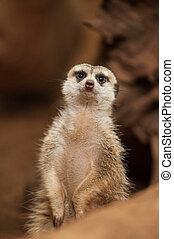 liten, meerkat, eller, suricate, (suricata, suricatta)