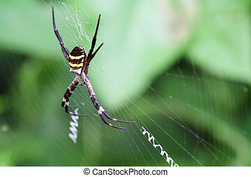 argiope - literate spider in the spiderweb,argiope...