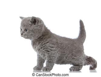 litet, brittisk, shorthair, kattunge