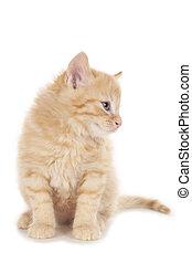 litet, röd, tabby, kattunge, titta i sidled, isolerat, vita