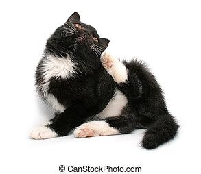 litet, svart, kattunge, isolerat, vita