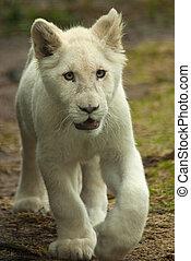 litet, vit, lejon vargunge