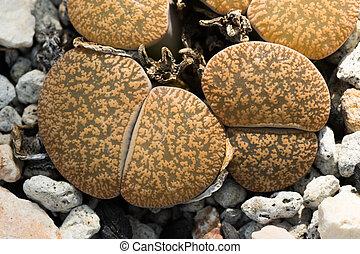 lithops, lesliei, southern áfrica