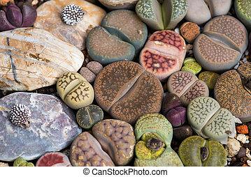 lithops, (living, stone), kaktus