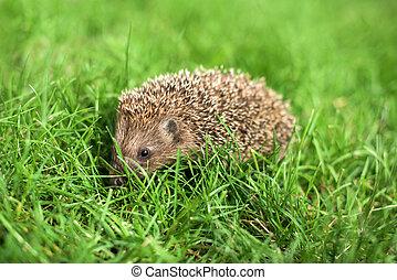 Litlle hedgehog in a garden