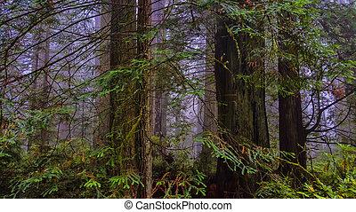 litoral, floresta redwood
