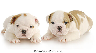 litter mates - two english bulldog puppies laying down with...