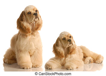 litter mates - two american cocker spaniel dogs isolated on...