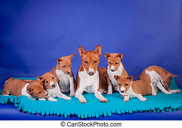 Litter of basenji puppies with mother on blue