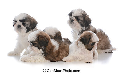 litter of five shih tzu puppies on white background