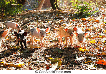 Litter of piglets - Cute piglets in the morning sun in...