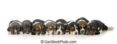 litter of puppies - eight basset hound puppies laying down...