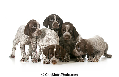 litter of puppies - five german shorthaired pointer puppies...