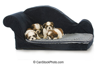 litter of puppies - shih tzu puppy laying on blue dog couch
