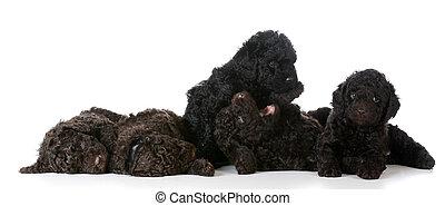 litter of puppies