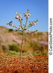 Little almond tree in bloom in Almeria