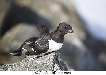 Little auks - Arctic birds - Little auks (Alle alle)- Arctic...