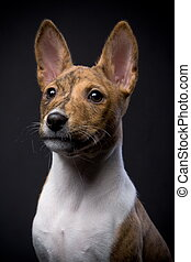 Little Basenji puppy, brindle colour, 2 month, on the black background