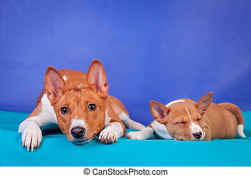 Little basenji puppy, 1,5 month old, with mother on the blue background