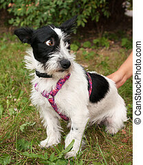 Little bearded dog harness in pink on background of green grass