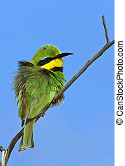 Little Bee-Eater - Okavango Delta - Botswana. - Little Bee-...